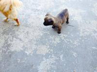 Beautiful little Chug puppies, both females, will have