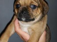 75% Pug 12.5% Chihuahua 12.5% Beagle 4 females & 2