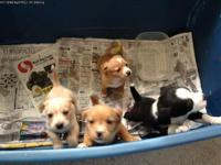 Needing homes for four chuini puppies. Starting Monday