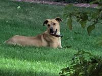 Chula is a 10 month old Rhodesian Ridgeback Mix rescued