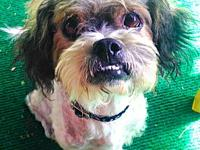 Chulo's story Chulo is a 4-5 year old Shih Tzu. We