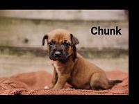 Chunk's story These puppies will all be attending an