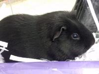 Chunk is a large, one and a half year old male guinea