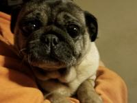 Chunky Monkey is a 4 year old female Pug rescued from a