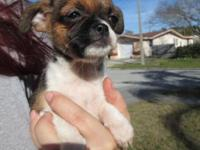 I have 2 little Chussels, Brussel Griffon/ chihuahua
