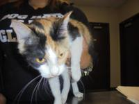 Calico Cindy is in the house, the Humane Society