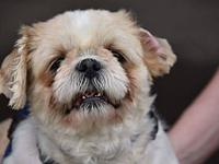 Cindy's story Cindy is a 5 year old shih tzu. She is