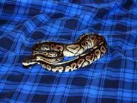 Hi i am puting my female cinnamon pastel ball python