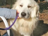 Cisco is a sweet young male Pyr who came to us from a
