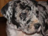 I have a very colorful litter of Great Dane puppies