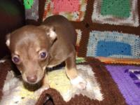 CKC FEMALE CHIHUAHUA PUPPY 2 SHOTS AND BEEN WORMED SHE
