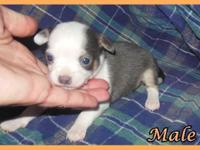 I have a stunning litter of Chihuahua puppies. Colors