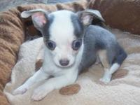 I have 3 male Chihuahua puppies. Colors include: blue &