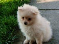 CKC POMERANIAN PUPPIES. CUTE, CUDDLY AND SWEET AS CAN