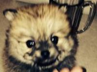 I have 4 adorable Pom puppies that are looking for good