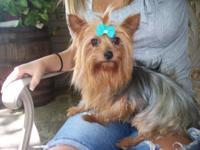I have CKC Adult Female (Mitzi) Yorkshire Terrier, she