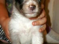 Beautiful blue merle male sheltie pup. Sire is AKC/CKC