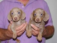 I have CKC registered Isabella (Fawn & Tan) pups, 2
