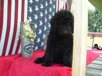 CKC multi-generation labradoodle puppies-currently 10