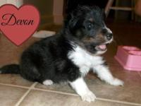 Beautiful tricolor male sheltie pup. Sire is AKC/CKC