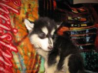 Only two left both are male. Ckc registered Alaskan
