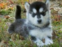 Ckc Alaskan Malamute Puppy!