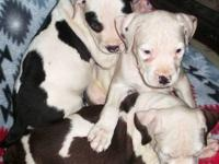 American Pit Bull Terriers.. 9 wk old Continental
