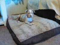 American Pitbull Terrier CKC registered with papers. 9