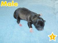 one female , Apple Head Chihuahua's, fawn color,.4 mths