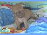 I have 1 adorable Chihuahua puppy left for sale. He is