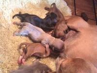 CKC registered chihuahua puppies, males and female