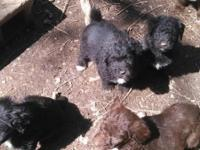 Ckc Aussie doodle puppies ,6 weeks old up to date on