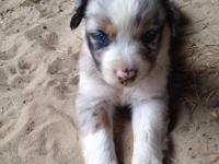 We have 3 beautiful and sweet Aussie babies available.