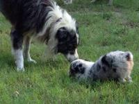 Aussie pups available Sep 1. Australian Shepherds are