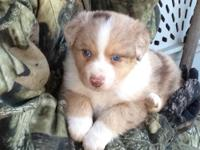 We are now taking deposits on our Aussie pups born