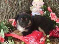 Aussie pups, black tris, 2 males and 2 ladies. $300 -