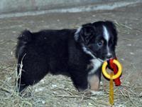 Gorgeous Standard size Australian Shepherd puppies