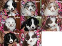 CKC registered (Continental Kennel Club) Australian