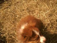 CKC Australian Shepherd Puppies ,11week old ,up to date