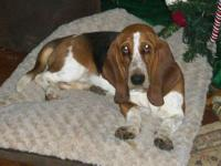 CKC Basset Hound tri-color female, born July 2012, all