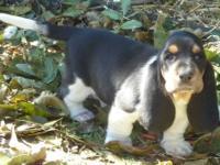 We have a Tri-Color CKC Registered Male Pup for sale.