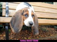 UPDATED 3 LEFT BASSET HOUND PUPPIES - Date of Birth