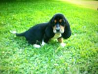 I have 2 male CKC signed up Basset Hound young puppies.