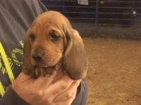 9 Ckc reg basset hound puppies. Will be 6 weeks old on