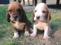 3 males 1female available!! Puppies will have their