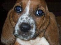 CKC Registered Baset Hound Puppies! We only have 2