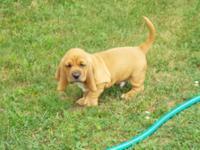 3 ckc basset hound pups D.O.B 7-7-15 2 males 1 female