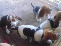 Basset Hounds. 1 male 4 females. born 12-22-14. they