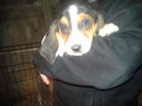 9 week old Tri Bassett hound she had had her 1st shots