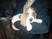 I have 3 female Bassett hound puppies they are 9 weeks